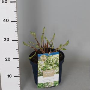 Hydrangea Macrophylla Magical Noblesse® boerenhortensia - 25-30 cm - 1 stuks