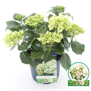 Hydrangea Macrophylla Magical Noblesse® boerenhortensia - 30-40 cm - 1 stuks
