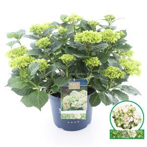 Hydrangea Macrophylla Magical Noblesse® boerenhortensia - 40-50 cm - 1 stuks