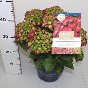 Hydrangea Macrophylla Magical Sapphire® boerenhortensia - 25-30 cm - 1 stuks
