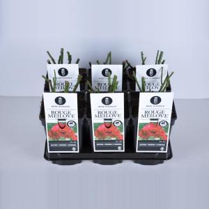 Trosroos (rosa Red Meilove®) - C3 - 1 stuks