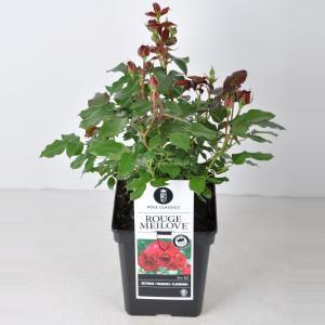 Trosroos (rosa Red Meilove®) - C5 - 1 stuks
