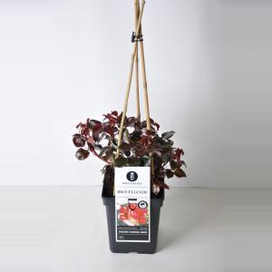 Grootbloemige klimroos (rosa Broceliande®)