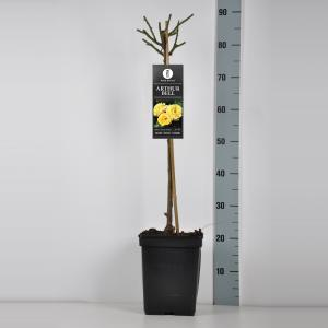 Trosroos op stam (rosa Arthur Bell) - 50 cm - 1 stuks