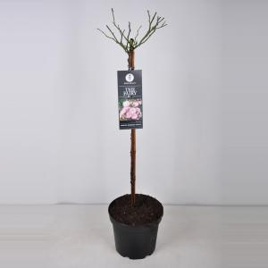 Trosroos op stam (rosa The Fairy®) - Stam 70 cm - 1 stuks