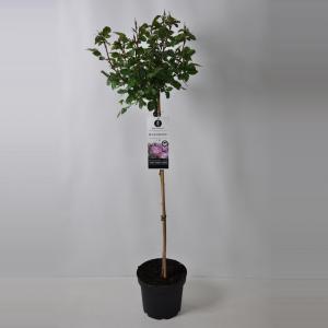 Trosroos op stam (rosa Blue For You®) - Op stam 90 cm - 1 stuks