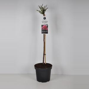 Trosroos op stam (rosa Leonardo da Vinci®) - Op stam 70 cm - 1 stuks