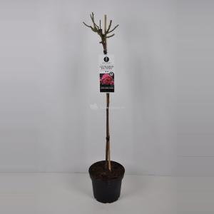 Trosroos op stam (rosa Leonardo da Vinci®) - Op stam 90 cm - 1 stuks