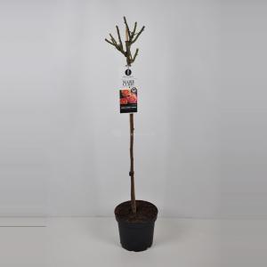 Trosroos op stam (rosa Marie Curie®) - Op stam 90 cm - 1 stuks