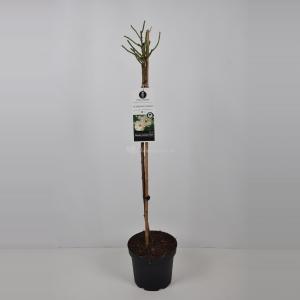 Heesterroos op stam (rosa Schneewittchen®) - Op stam 90 cm - 1 stuks
