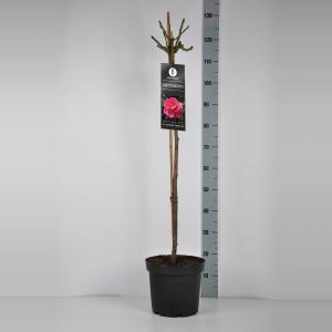 Grootbloemige roos op stam 90 cm (rosa Criterion)