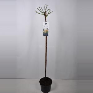 Treurroos op stam (rosa Ghislaine de Feligonde) - Op stam 140 cm - 1 stuks