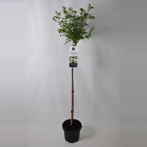 Treurroos op stam (rosa Guirlande d'Amour®) - Op stam 110 cm - 1 stuks