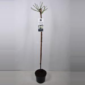 Treurroos op stam (rosa Guirlande d'Amour®) - Op stam 140 cm - 1 stuks