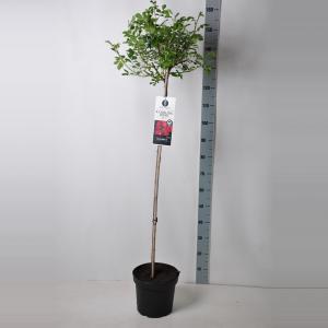 Treurroos op stam (rosa Rambling Rosie®) - Op stam 110 cm - 1 stuks