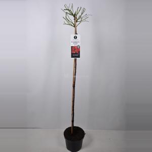 Treurroos op stam (rosa Rambling Rosie®) - Op stam 140 cm - 1 stuks