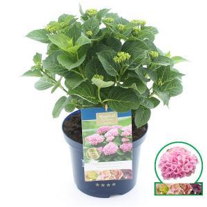 Hydrangea Macrophylla Magical Revolution Roze® boerenhortensia - 30-40 cm - 1 stuks