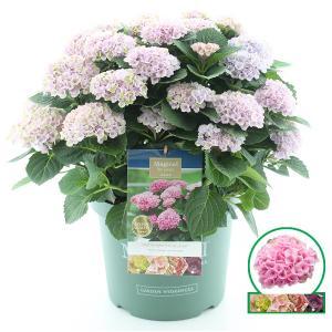 Hydrangea Macrophylla Magical Revolution Roze® boerenhortensia - 50-60 cm - 1 stuks