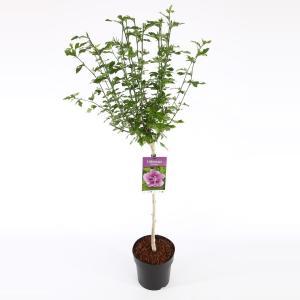 Hibiscus syriacus Ardens op stam - Stam 60 cm - 9 stuks