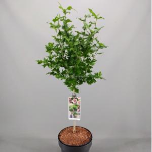 Hibiscus syriacus Hamabo op stam - Stam 50 cm - 2 stuks