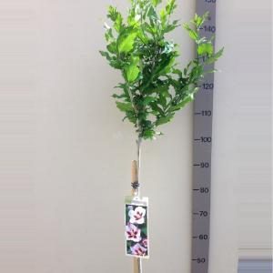 Hibiscus syriacus Hamabo op stam - Stam 110cm - 8 stuks