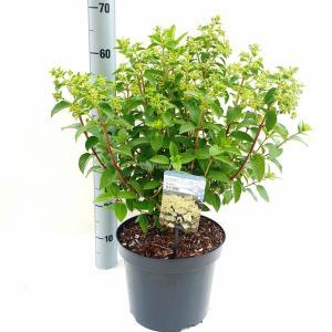 Hydrangea Paniculata Bobo® pluimhortensia - 30-40 cm - 1 stuks