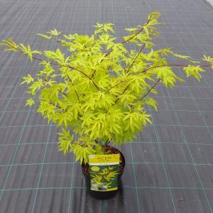 Japanse esdoorn (Acer Palmatum Anne Irene)