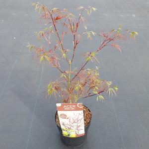 Japanse esdoorn (Acer Palmatum Atrolineare)