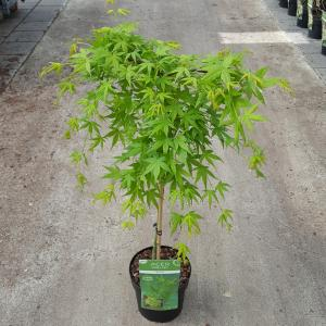 Japanse esdoorn (Acer palmatum Ryusen) heester - op stam 40 cm - 1 stuks