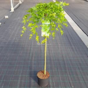 Japanse esdoorn (Acer palmatum Ryusen) heester - op stam 90 cm - 1 stuks