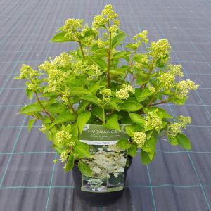 Hydrangea Paniculata Prim White® pluimhortensia