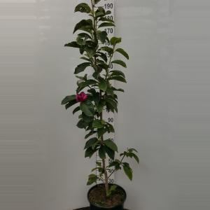 Magnolia struik Cleopatra