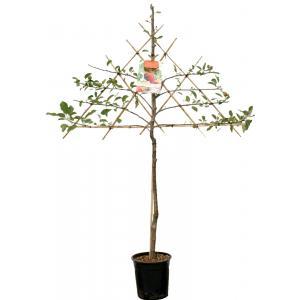 Appelboom Elstar leivorm (Malus Domestica Elstar) fruitbomen - 2 stuks