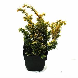 Taxus (Taxus baccata Semperaurea) conifeer