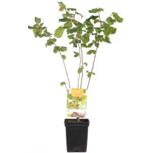 "Hazelaar (corylus avellana ""Cosford"") notenboom"