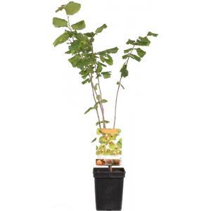 Hazelaar (corylus avellana Halle'sche Riesen) notenboom