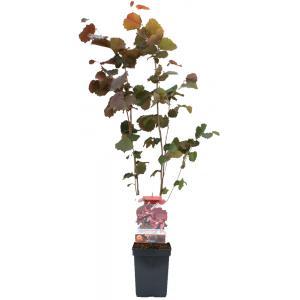 Hazelaar (corylus avellana Rode Zeller) notenboom