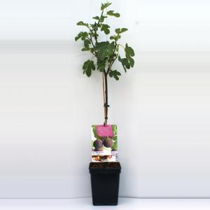 Vijg op stam (Ficus Carica Brown Turkey) fruitbomen