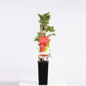 Rode bes (ribes rubrum Jonkheer van Tets) fruitplanten - In 2 liter pot - 1 stuks