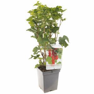 Rode bes (ribes rubrum Jonkheer van Tets) fruitplanten - In 5 liter pot - 1 stuks