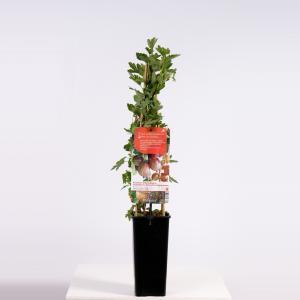 Rode kruisbes (ribes uva crispa Hinnonmäki Röd) fruitplanten - In 2 liter pot - 1 stuks