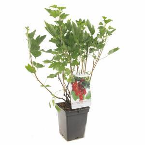 Rode bes (ribes rubrum Rovada) fruitplanten - In 5 liter pot - 1 stuks