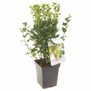 Groene kruisbes (ribes uva crispa Hinnonmäki Grön) fruitplanten - In 5 liter pot - 1 stuks