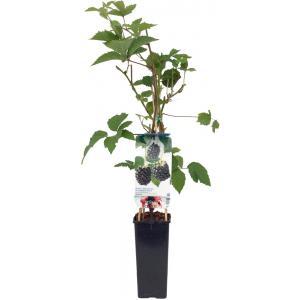 Braam (rubus fruticosus Navaho) fruitplanten