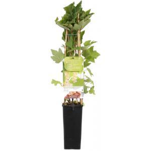 Witte bes (ribes rubrum Witte Parel) fruitplanten - In 2 liter pot - 1 stuks
