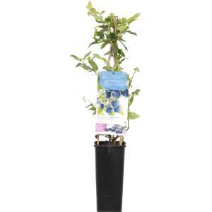 Bosbes (vaccinium corymbosum Bluecrop) fruitplanten - In 2 liter pot - 1 stuks