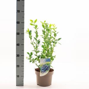 Bosbes (vaccinium corymbosum Bluecrop) fruitplanten - In 3 liter pot - 9 stuks