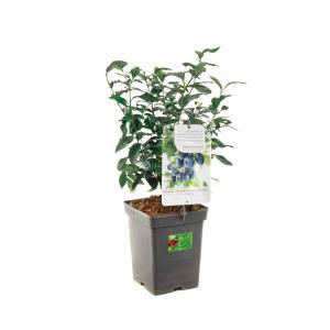 Bosbes (vaccinium corymbosum Bluecrop) fruitplanten - In 5 liter pot - 1 stuks