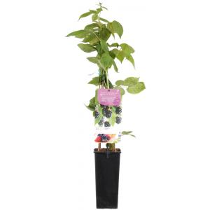 Braam (rubus fruticosus Black Satin) fruitplanten