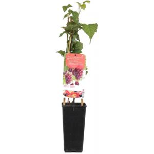 Taybes (rubus loganobaccus Tayberry) fruitplanten